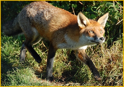 Fox with a Bucket of Chicken in Sight