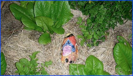 The slug trap in the vegetable garden