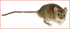 mouse-(Mus-musculus)-by-George-Shuklin