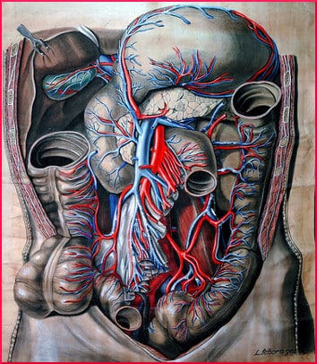 Anatomical drawing of abdomen, circa 1909