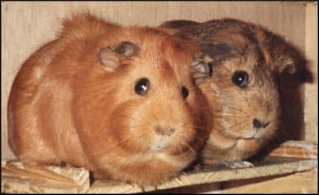 Fat Pigs