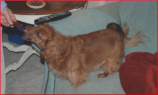 dachshund-getting-a-treat