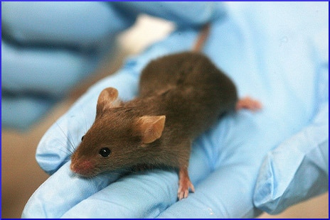lab-mouse-on-gloved-hand