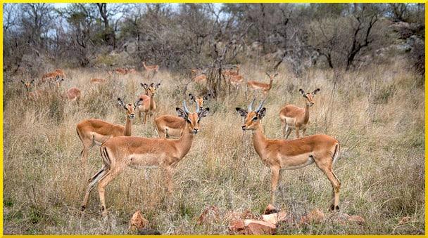 impala-herd
